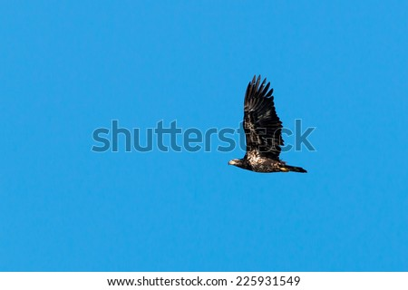 Juvenile Bald Eagle soaring  - stock photo