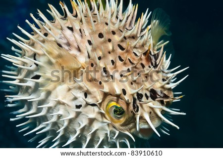 Juvenile balloonfish inflated - stock photo