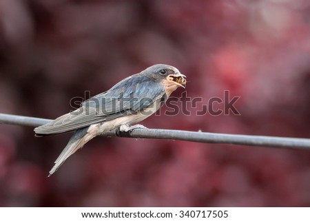Juvenile barn swallow with a bee