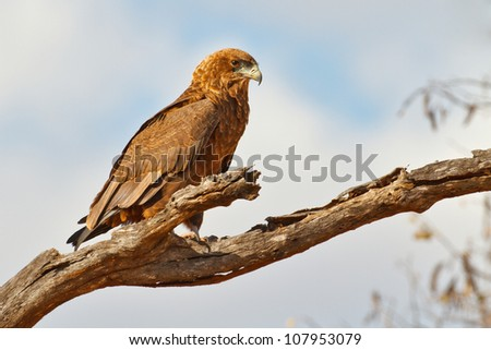 Juvenile bataleur eagle sits patiently on a branch, South Africa - stock photo