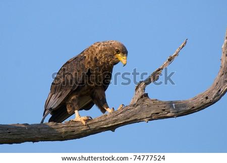 Juvenile bateleur eagle perched on dead tree - stock photo