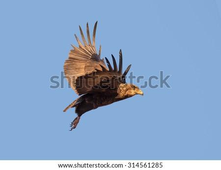 Juvenile Bateleur (Terathopius  ecaudatus) eagle in flight against blue sky - Kruger National Park (South Africa) - stock photo