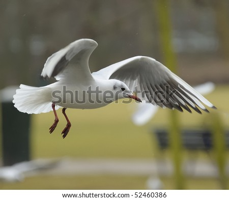 Juvenile black headed gull soaring in a park