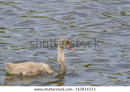 Juvenile Black Swan (Cygnet) on a Lake in Melbourne, Australia - stock photo