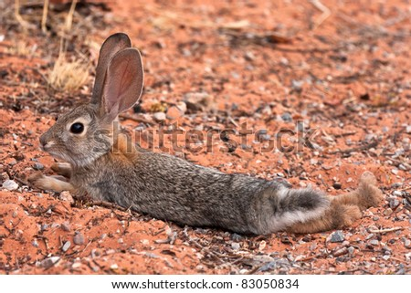 Juvenile Black Tailed Desert Jack Rabbit - stock photo