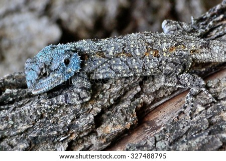 Juvenile blue headed tree Agama hunting on a tree stump showing the effectiveness of his camouflage colours  - stock photo