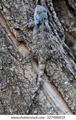 Juvenile Blue Headed tree Agama scrambling up a tree showing effective camouflage - stock photo