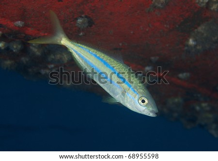 Juvenile Blue Runner underneath the hull of a boat. - stock photo