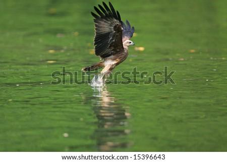 Juvenile Brahminy Kite fishing - stock photo