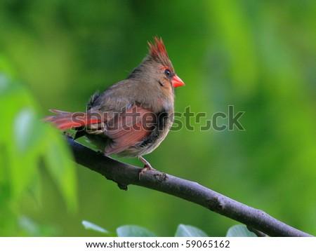 Juvenile cardinal - stock photo