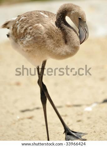 juvenile caribbean flamingo - stock photo