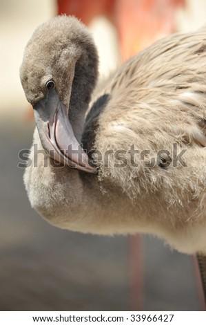 juvenile caribbean flamingo 2 - stock photo