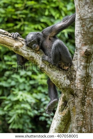 Juvenile Chimpanzee bonobo ( Pan paniscus) on tree branches.  Green forest  natural background. Democratic Republic of Congo.   Africa.