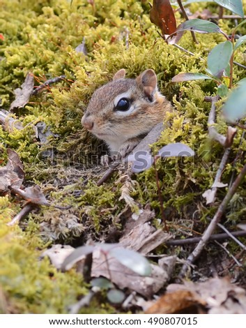 Juvenile chipmunk emerges from her moss covered burrow