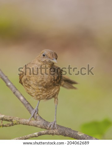 "Juvenile clay colored thrush, also known as a ""yiguirro"" is the national bird of Costa Rica. - stock photo"