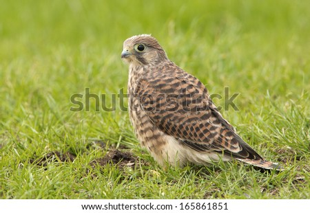 Juvenile Common Kestrel  - stock photo