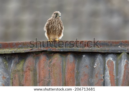 Juvenile common kestrel on a shed - stock photo