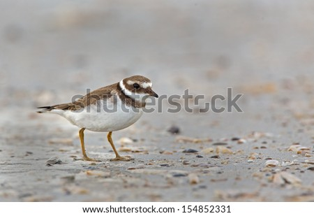 Juvenile Common Ringed Plover Charadrius hiaticula on shore  - stock photo