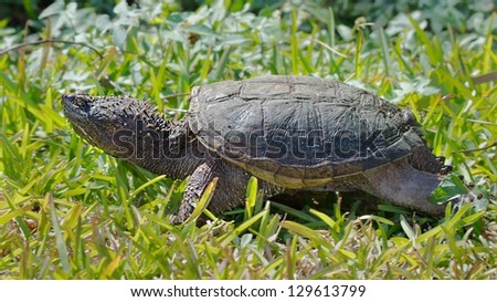 Juvenile Common snapping turtle basking in the sun in the Florida Everglades - stock photo