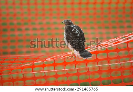Juvenile cooper's hawk that has just left the nest sitting on an orange construction fence in an urban area - stock photo