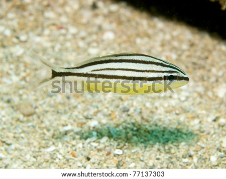 Juvenile Cottonwick Grunt, picture taken in south east Florida. - stock photo