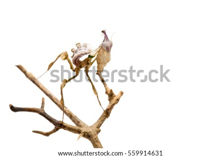juvenile Devils flower mantis sitting on a twig or stick on a white background.Idolomantis diabolica