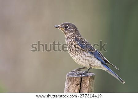 Juvenile Eastern Bluebird - stock photo