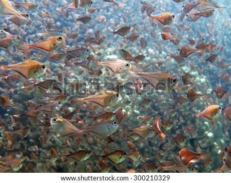 Juvenile golden sweepers schooling in a shallow channel - stock photo