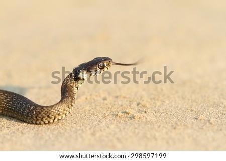 juvenile grass snake on sand ( Natrix ) - stock photo