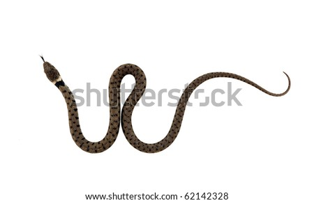 Juvenile grass snake with forked tongue. Isolated on white. - stock photo