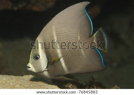 Juvenile Gray Angelfish, picture taken in south east Florida. - stock photo