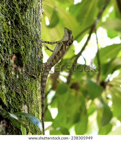 juvenile great angle head lizard resting on the tree bark - stock photo
