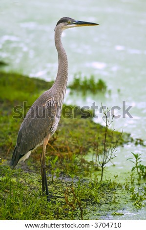 juvenile great blue heron wades in florida wetland marsh