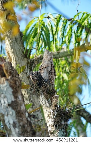Juvenile Great Potoo (Nyctibius grandis) hidden in a tree in the flooded jungle in the Cuyabeno Wildlife Reserve - stock photo