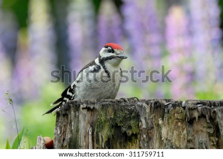 Juvenile Great Spotted Woodpecker (Dendrocopos major) on the stump against violet lupin flowers background. Moscow region, Russia - stock photo