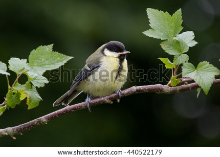 Juvenile Great Tit on Branch