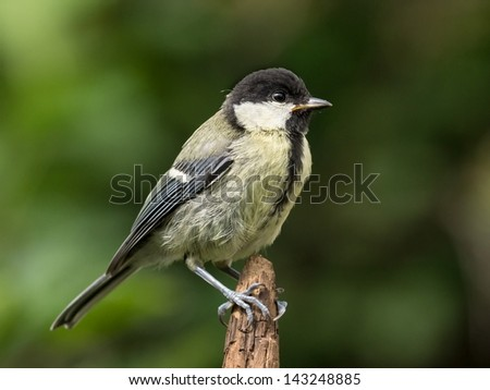 Juvenile great tit perched on the tip of a brown branch - stock photo