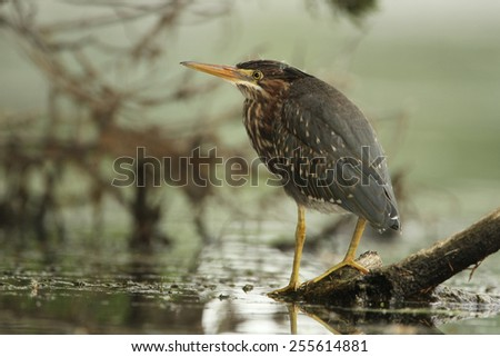 Juvenile Green Heron (Butorides virescens) Perched on a Floating Log - Grand Bend, Ontario, Canada - stock photo