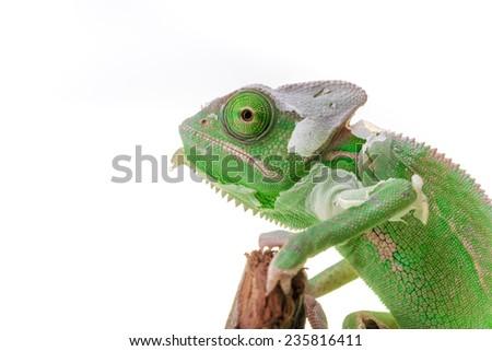 Juvenile green Veil Chameleon sheding it's skin - Closeup. - stock photo