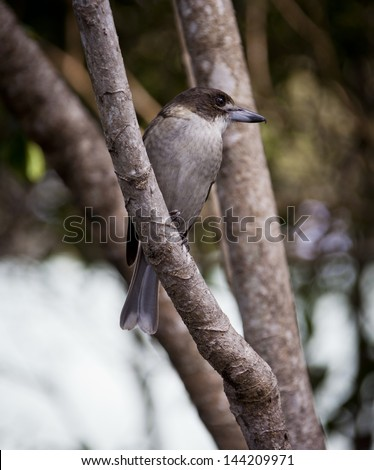 Juvenile Grey Bucherbird in Hervey Bay, Queensland, Australia. - stock photo