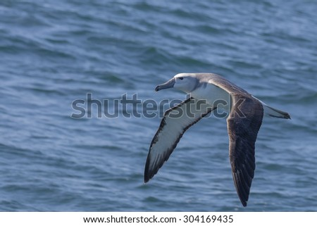 Juvenile Grey-headed Albatross flying over the Indian Ocean 1,5 kmâ??s off the coast of Knysna, South Africa