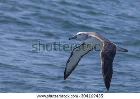 Juvenile Grey-headed Albatross flying over the Indian Ocean 1,5 kmâ??s off the coast of Knysna, South Africa - stock photo