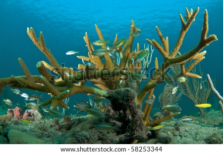 Juvenile Grunts taking shelter in around stands of Staghorn Coral an endangered species.  Picture taken in Broward County, Florida. - stock photo