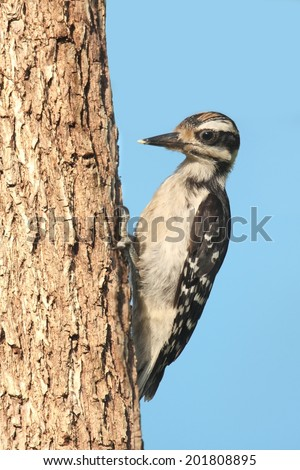 Juvenile Hairy Woodpecker (Picoides villosus) on a feeder with a blue background - stock photo