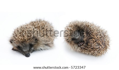 Juvenile hedgehogs isolated on white - shallow dof