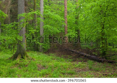 Juvenile Hornbeam tree and partly declined spruce tree in background,Bialowieza Forest,Poland,Europe - stock photo