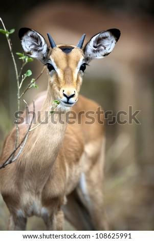 Juvenile Impala and some food - stock photo