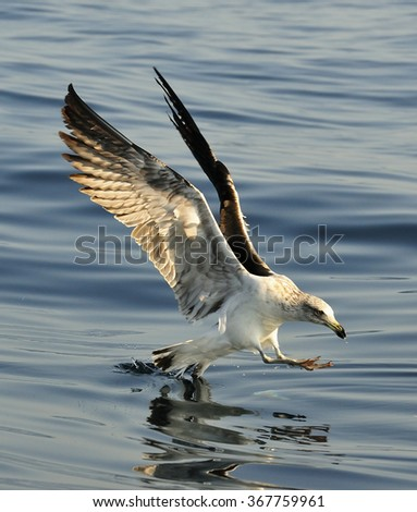 Juvenile kelp gull (Larus dominicanus), also known as the Dominican gull and Black Backed Kelp Gull. False Bay, South Africa   - stock photo