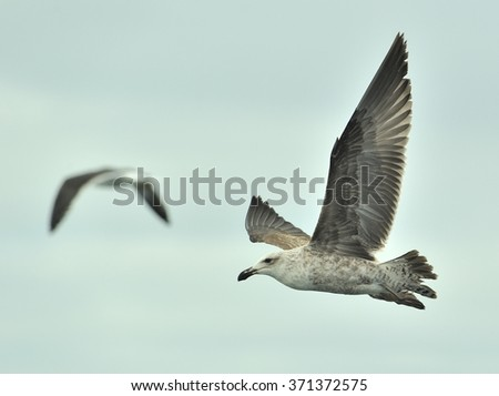 Juvenile Kelp gull (Larus dominicanus), also known as the Dominican gull and Black Backed Kelp Gull. On natural sky background. False Bay, South Africa  - stock photo