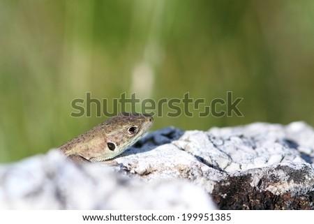 juvenile lacerta viridis ( european green lizard ) hiding behind limestone rock - stock photo